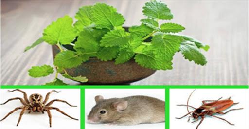 Use-esta-planta-e-tenha-uma-casa-livre-de-aranhas-baratas-e-ratos